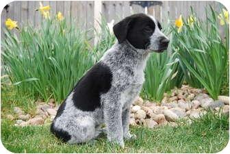 Border Collie/Australian Shepherd Mix Puppy for adoption in Westminster, Colorado - RACHEL