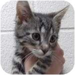 Domestic Shorthair Kitten for adoption in Wheaton, Illinois - Vinny