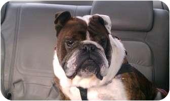 English Bulldog Mix Dog for adoption in Decatur, Illinois - Butch