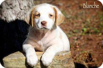 Spaniel (Unknown Type) Mix Puppy for adoption in Albany, New York - Blanche