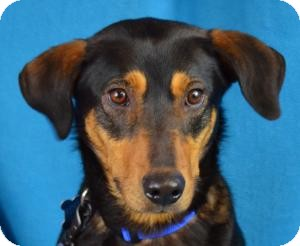 Hound (Unknown Type)/Shepherd (Unknown Type) Mix Dog for adoption in Minneapolis, Minnesota - Gilly