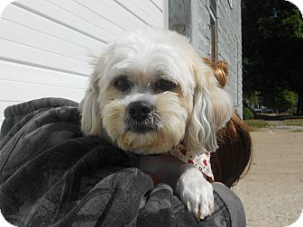 Shih Tzu Mix Dog for adoption in Tipton, Iowa - Dozer