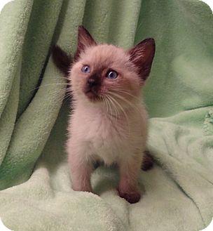 Himalayan Kitten for adoption in Bentonville, Arkansas - Paisley