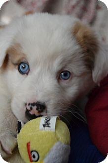 Australian Shepherd Mix Puppy for adoption in Columbus, Ohio - Tanner