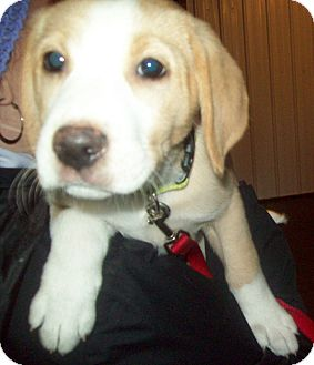 Labrador Retriever Mix Puppy for adoption in Marseilles, Illinois - Lila