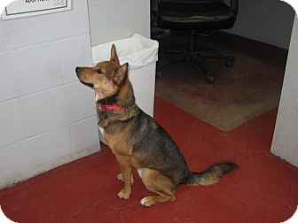 Shepherd (Unknown Type) Mix Dog for adoption in Florence, Indiana - Easton