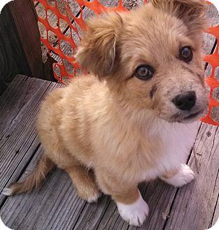 Australian Cattle Dog Mix Puppy for adoption in ST LOUIS, Missouri - Farley