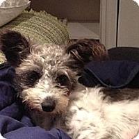 Adopt A Pet :: Pixie - Vancouver, BC