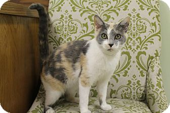 Calico Cat for adoption in Hagerstown, Maryland - Skittles (fee $100)