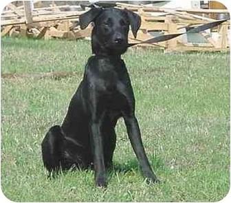 Doberman Pinscher Mix Dog for adoption in Austin, Minnesota - Cougar