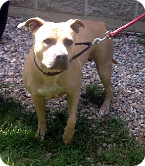 Labrador Retriever/Pit Bull Terrier Mix Dog for adoption in Bloomfield, Connecticut - Jessie J