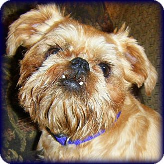 Brussels Griffon Dog for adoption in Seymour, Missouri - MILO - ADOPTION PENDING