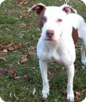 American Staffordshire Terrier Mix Dog for adoption in Mt. Pleasant, Michigan - Rosie