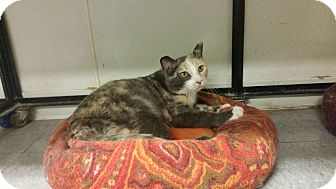 Domestic Shorthair Cat for adoption in Indianola, Iowa - Missy