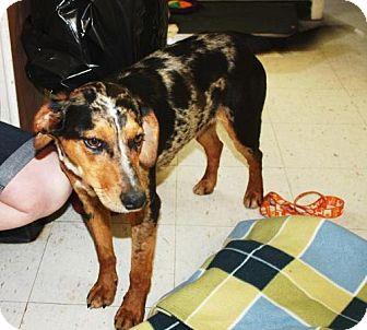 Australian Shepherd Mix Dog for adoption in Cottageville, West Virginia - Rolex