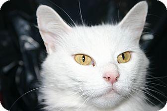 Domestic Shorthair Cat for adoption in Simcoe, Ontario - Isobel