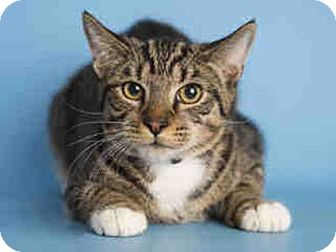 Domestic Shorthair Cat for adoption in Litchfield Park, Arizona - ON EUTHANASIA LIST - Only $15