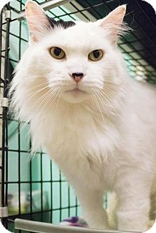 Domestic Longhair Cat for adoption in Anoka, Minnesota - Malibu