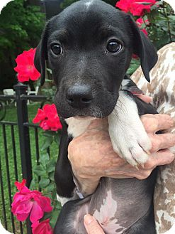 Labrador Retriever/Terrier (Unknown Type, Medium) Mix Puppy for adoption in Homewood, Alabama - Veronica