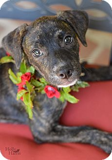 Hound (Unknown Type) Mix Puppy for adoption in Baton Rouge, Louisiana - Rosalie