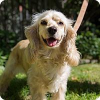 Adopt A Pet :: Ginger - Rigaud, QC