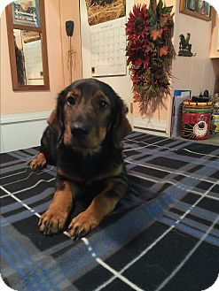 Basset Hound/Dachshund Mix Puppy for adoption in Glastonbury, Connecticut - Amelia