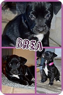 Australian Cattle Dog/Pit Bull Terrier Mix Puppy for adoption in Aurora, Ohio - Brea