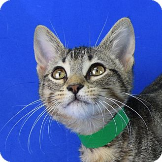 Domestic Shorthair Kitten for adoption in Carencro, Louisiana - Little Wolf