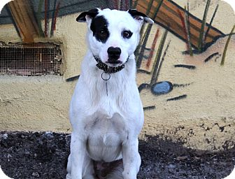 Border Collie/Cattle Dog Mix Dog for adoption in Los Angeles, California - Nadia
