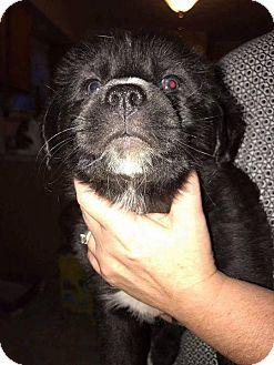 Mastiff/Springer Spaniel Mix Puppy for adoption in Ashville, Ohio - Precious