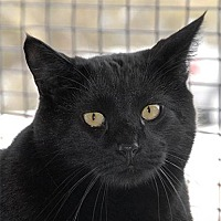 Domestic Shorthair Cat for adoption in Kanab, Utah - Brazil