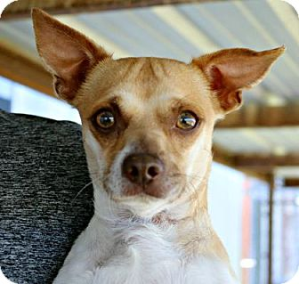 Chihuahua/Mixed Breed (Small) Mix Dog for adoption in Killeen, Texas - Toby Mac
