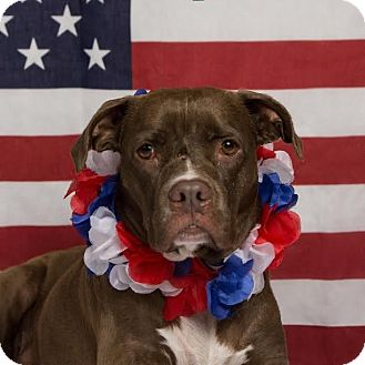 Pit Bull Terrier Mix Dog for adoption in Columbia, Illinois - Ruby