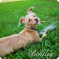 Adopt A Pet :: Bentley - Tampa, FL