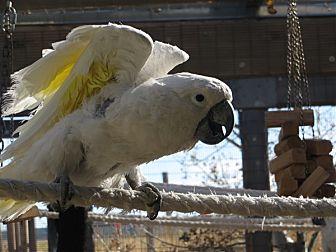 Cockatoo for adoption in Elizabeth, Colorado - Charlie