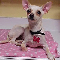 Adopt A Pet :: Chi Chi Bella - 7 lbs - Dahlgren, VA