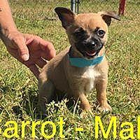 Adopt A Pet :: Carrot / Cooper - Waycross, GA