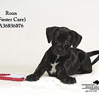 Adopt A Pet :: Roux  (Foster Care) - Baton Rouge, LA