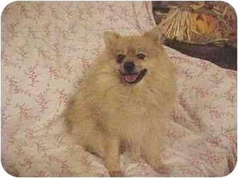 Pomeranian Dog for adoption in Conroe, Texas - Cody