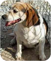 Beagle Dog for adoption in Cincinnati, Ohio - Penelope: Good Dog!