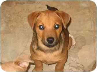 German Shepherd Dog/Labradoodle Mix Puppy for adoption in Cincinnati, Ohio - Shirley