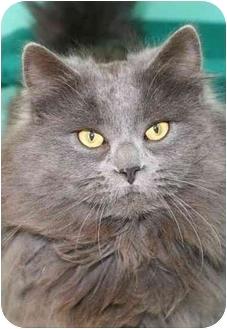 Domestic Longhair Cat for adoption in Phoenix, Oregon - Triton