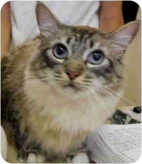 Ragdoll Cat for adoption in San Clemente, California - FANCY