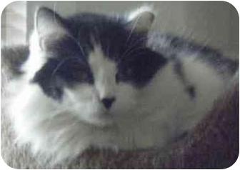 Domestic Mediumhair Cat for adoption in Kensington, Maryland - Katie
