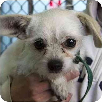 Chihuahua Mix Dog for adoption in Berkeley, California - Pip