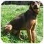 Photo 2 - German Shepherd Dog/Rottweiler Mix Dog for adoption in Latrobe, Pennsylvania - Lena