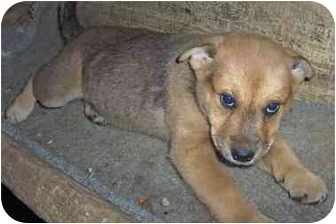 Shepherd (Unknown Type) Mix Puppy for adoption in Sterling Heights, Michigan - Petunia-Adopted