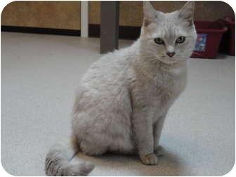 Domestic Shorthair Cat for adoption in Kingston, Washington - Martha