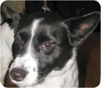 Border Collie/Feist Mix Dog for adoption in Chapel Hill, North Carolina - Rascal