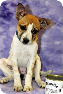 Terrier (Unknown Type, Medium)/Terrier (Unknown Type, Medium) Mix Puppy for adoption in Broomfield, Colorado - Envy